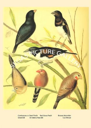 Various Finches - Waxbill
